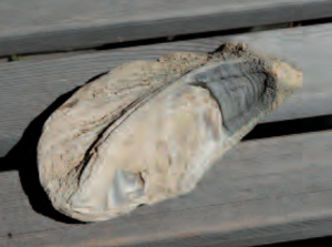 Austernmuschel